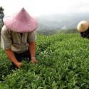 Canton Tea Pouchong thee